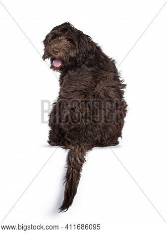 Adorable Dark Brown Cobberdog Aka Labradoodle Pup, Sitting Backwards On Edge With Tail Hanging Down.