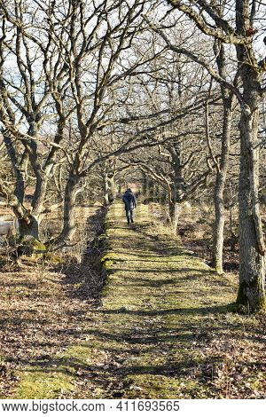 Walking In An Oak Tree Alley In The Nature Reserve Borga Hage On The Island Of Oland In Sweden