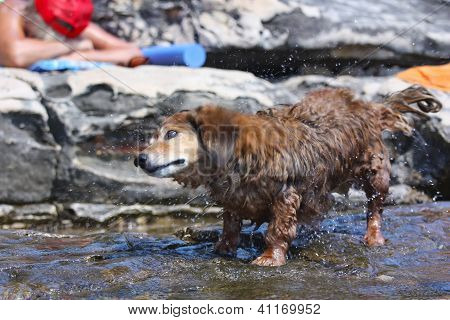Dachshund Standing In Water