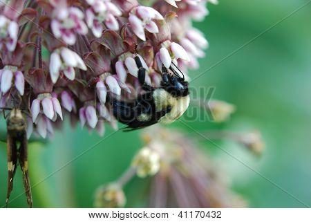 Milkweed and Bumble bee