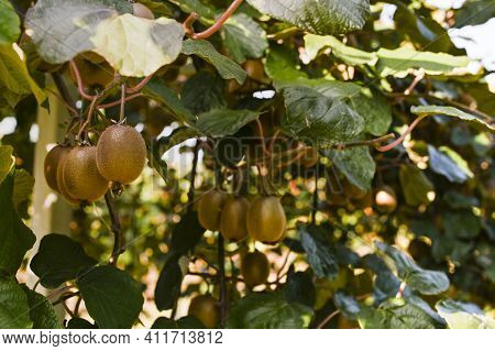 Kiwi On A Kiwi Tree Plantation With With Huge Clusters Of Fruits. Garden With Trees And Organic Frui