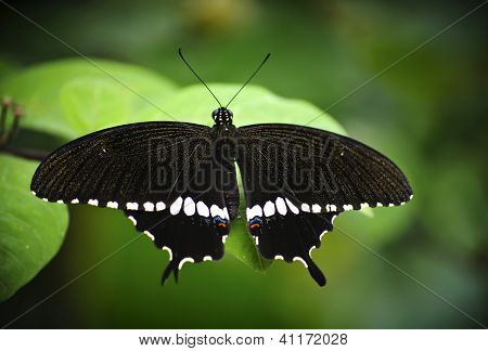 Common mormon butterfly on green background