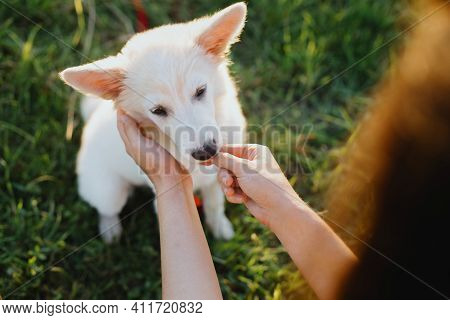 Woman Hands Caressing And Giving Treats To Cute White Puppy  In Warm Sunset Light In Summer Meadow