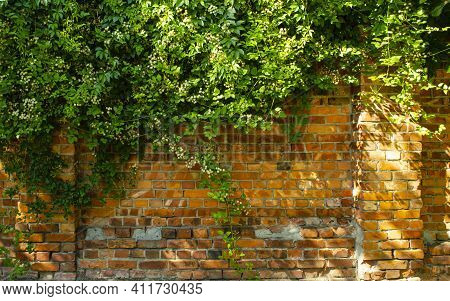 Overgrown Brick Wall And Leaves For Backgrounds. Brick Wall And Ivy. Green Plant Overgrown On Old Wa