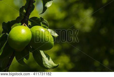 Macro Photo Unripe Spring Plum Fruits Grow On A Tree Between Green Leaves