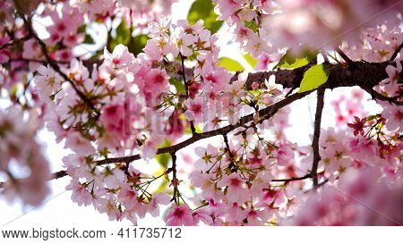 Pink Cherry Blossom Flower Blossom In Spring Outdoor Beautiful Flower Natural And Attractive Plant F