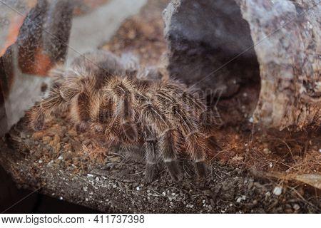 Tarantula Spider In Captivity. Grammostola Rosea. Animal Theme.