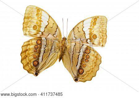Butterfly Amathusia. Stichophtalma Camadeva On White Background.