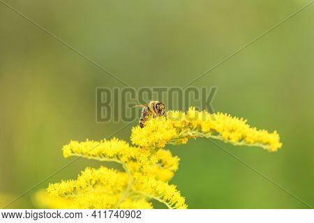 Bee And Flower. Close Up Of A Large Striped Bee Collecting Pollen On A Yellow Flower Solidago (golde