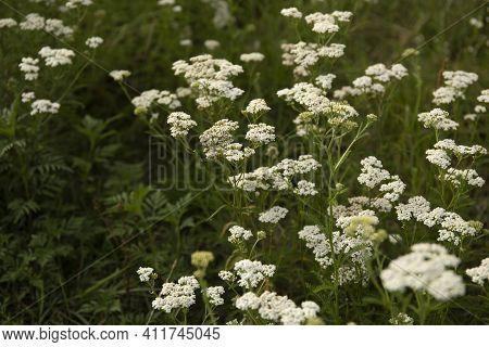 Medicinal Wild Herb Yarrow Achillea Millefolilium. The Plant During Flowering In A Field