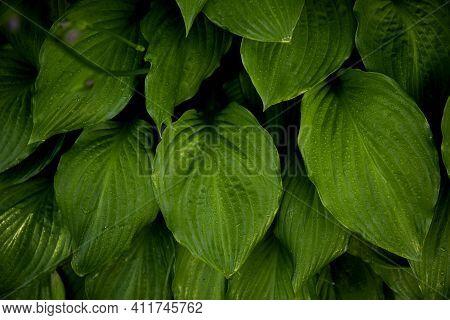 The Green Leaves Of Hosta Plant In Summer Garden