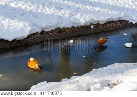 The March Thaw In The Park. The Onset Of The First Warm Days. Ducks Swim In A Thawed Pond. Spring Ti