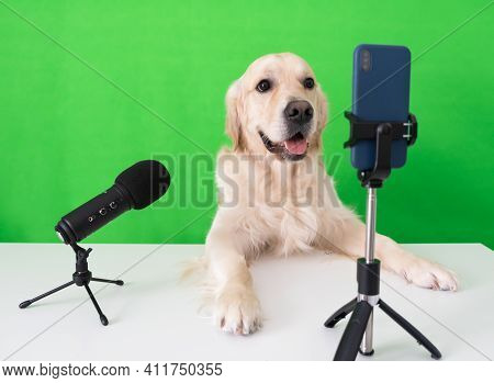 Blogger's Dog Sits On A Green Background With A Microphone And A Telephone. Golden Retriever Is Stre