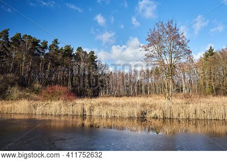 Reeds By The Lake And A Birch Grove During Winter In Poland