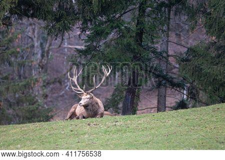 Red Deer Stag, Deer Stag Resting In A Meadow During Winter