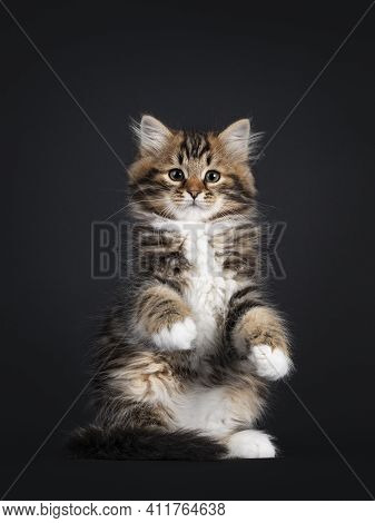 Gorgeous Brown Tabby Siberian Cat Kitten, Sitting Facing Front On Hind Paws Like Meerkat Or Teddy Be