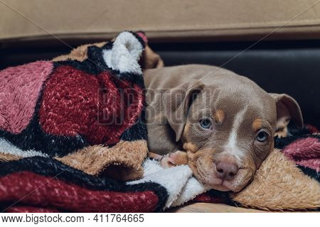 Cute Young Small Dog Listening Sitting On The Sofa With Headphones. Looking At The Camera, Pets Indo