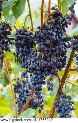 Grape Harvest. Ripe Black Grape Fruit Harvest In Nature For Food And Vine In Autumn. Blue Grape Grow