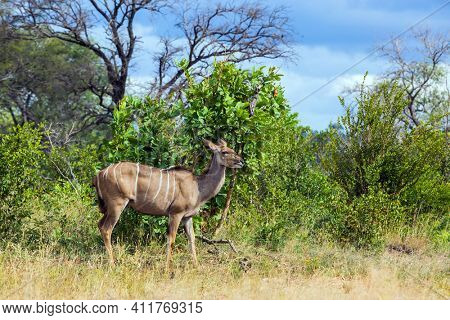 The kudu female grazes among acacia savannah.  South Africa. Animals live and move freely in the African savannah. Kruger Park. The concept of active; exotic, ecological and photo tourism