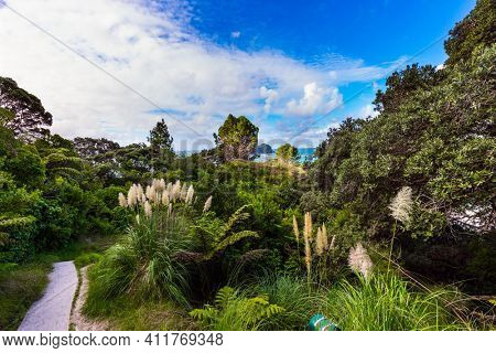 Coromandel Peninsula on the North Island. New Zealand. The road to Cathedral Cove. Picturesque flowering reeds grow along the sides of the path. The concept of active, exotic, ecological  tourism