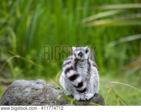 Cute Fluffy Ring-tailed Lemur In The Zoo.