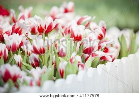 white and red tulip flower in the garden