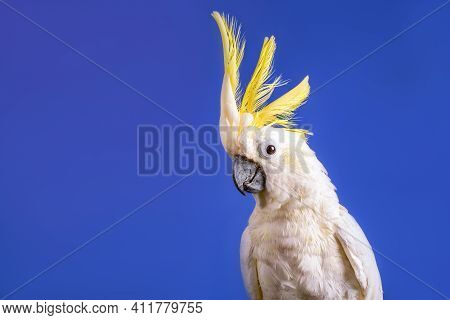 A Very Nice White Cockatoo Parrot On The Blue Background.