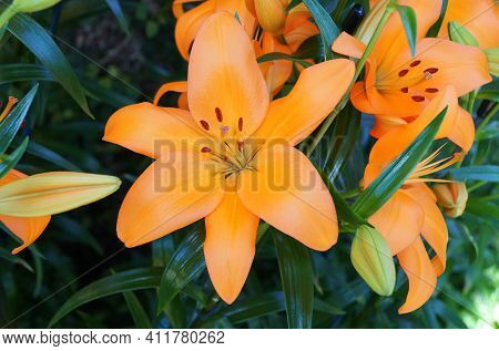 The Bright Orange Asiatic Lily Flowers At Full Bloom