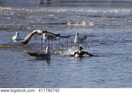 Red Breasted Merganser Chased By A Seagull Trying To Steal Him Its Catch