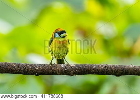 Red Headed Barbet (eubucco Bourcierii), Exotic Bird From Central Costa Rica. Mountain Bird In Green