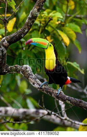 Ramphastos Sulfuratus, Keel-billed Toucan The Bird Is Perched On The Branch In Nice Wildlife Natural