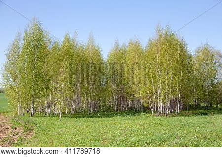 Blooming Birch Tree In A Sunny Spring Day. Young Bright Green Leafs On Birch Tree Branches Close-up.