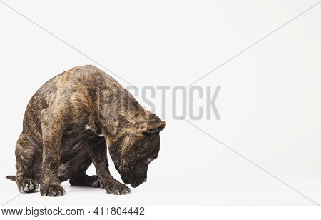Puppy Sniffing The Ground Or Looking For Prize With Space For Text On White Background