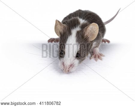 Cute Brow With White Baby Mouse, Looking Down From Edge. Isolated On White Background.