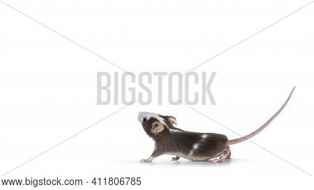 Cute Brow With White Baby Mouse, Standing Side Ways Looking Up. Isolated On White Background