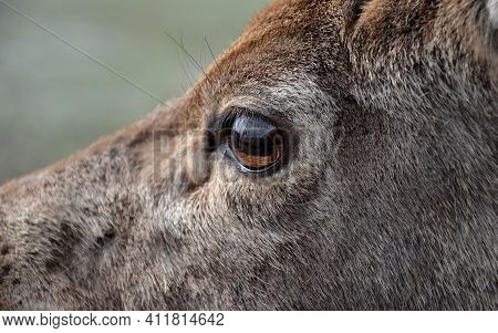 Portrait Of A Deer Or Roe Deer. A Deer Looks Over A Fence. He Is Trapped In A Fence. Breeding Animal