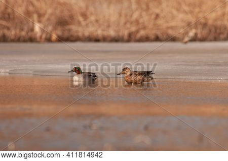 Common Teal Or Eurasian Teal. Anas Crecca.