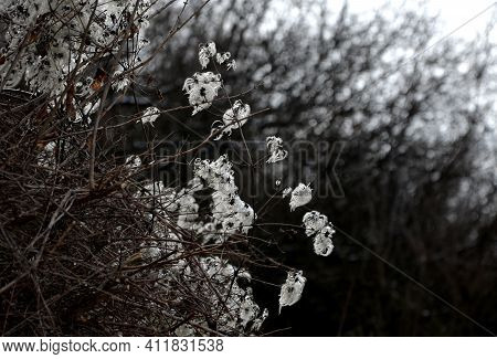 A Climbing Shrub With Branched, Grooved Stems, Deciduous Leaves, And Scented Greeny-white Flowers Wi