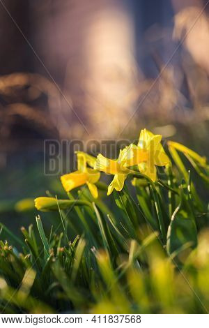 A Warm Portrait Of A Bunch Of Daffodils Standing In The Grass Of A Lawn In A Garden In The Direct Su