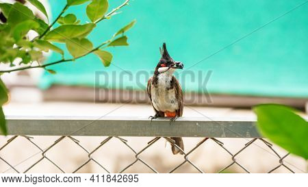 Red-whiskered Bulbul (pycnonotus Jocosus) Bird Perched On A Fence.