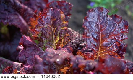 Lettuce In The Garden. Red Lettuce Leaves On The Beds In The Vegetable Field. Gardening Background W