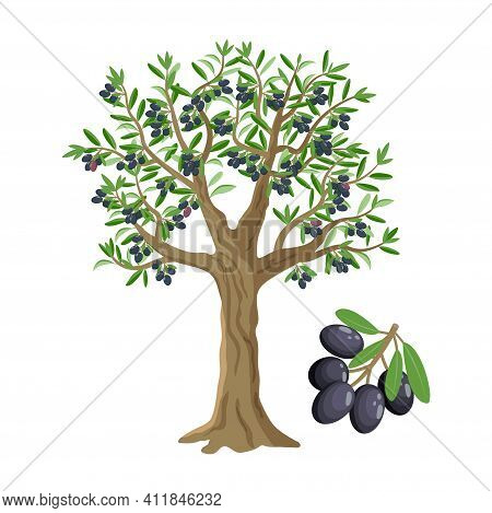 Olive Tree With Black Olives, Ripe Olives And Olive Branch Isolated On White Backgroun, Vector Illus