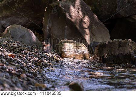Wild Rat In Nature. Brown Rat. Rattus Norvegicus Beside Water. Lutry, Switzerland. Wildlife And Natu