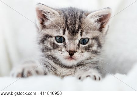 Kitten Peeks Out Holding By Paws. Happy Kitten Baby Looking At Camera. Cat Portrait. Grey Tabby Fluf