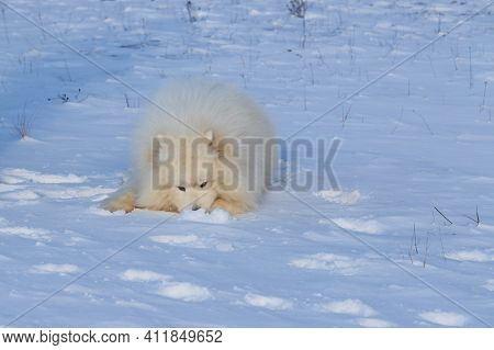 Samoyed - Samoyed Beautiful Breed Siberian White Dog. A 4 Year Old Dog Is Lying In The Snow And Has