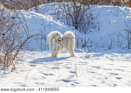 Samoyed - Samoyed Beautiful Breed Siberian White Dog. The Dog Stands On A Snowy Path By The Bushes A