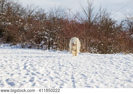 Samoyed - Samoyed Beautiful Breed Siberian White Dog. The Dog Runs On A Snowy Road And Has His Tongu