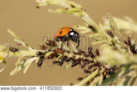 Aphids With A Useful Ladybug On A Plant. Garden Insect Concept.