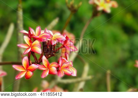 Plumeria Red Yellow White Flower And Frangipani Floral