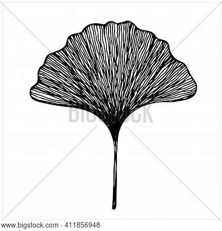 Leaf Of Ginkgo Biloba Tree, Isolated Hand Drawn Illustration